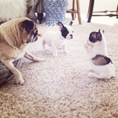 frenchie puppies and an old pug