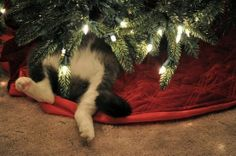 "Not sure if he's napping or ""decorating"" the tree. :)"