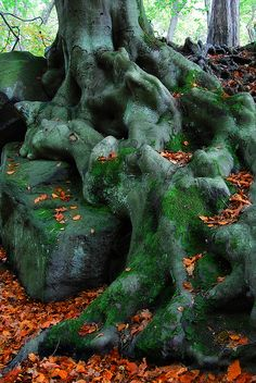 Beech,Oak,Birch,Hazel,Chestnut Trees for Art Prodject   Flickr - Photo Sharing!