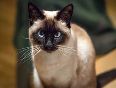 Siamese | Pictures, Information, and Reviews