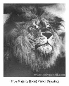 lion drawing in pencil