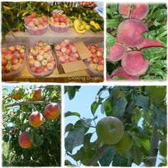 Growing Organic : Orchard Chores and Spray Scheduale