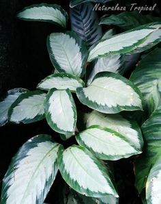 Planta Calathea picturata Begonia, Tropical Garden, Tropical Plants, Calathea Plant, Plant Guide, Most Beautiful Gardens, Miniature Plants, Fruit Plants, Foliage Plants