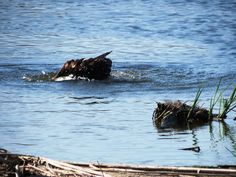 Osprey bathing  Paul Christie