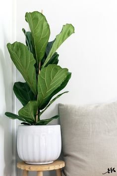 Balcony Plants, House Plants, Big Plants, Indoor Plants, Fiddle Leaf Fig, Fig Leaves, Office Plants, Foliage Plants, Scandinavian Interior