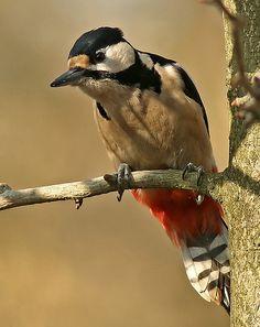 Woodpecker - Buntspecht - pic rouge | by pe_ha45