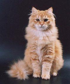 Glorious!!!! A beautiful marmalade Siberian cat.