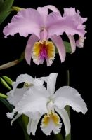 Cattleya mossiae (alba x coerulea)