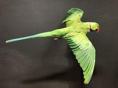 Groene halsbandparkiet Trends, Bird, Animals, Animales, Animaux, Birds, Animal, Animais, Beauty Trends