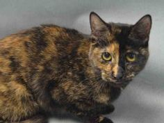 *** TO BE DESTROYED 02/08/17 *** Gorgeous Young, Spayed TORTIE at BACC -- PAISLEY Is A Fancy Designer Kitty! PAISLEY WANTS TO BE YOUR NEW BEST FRIEND!