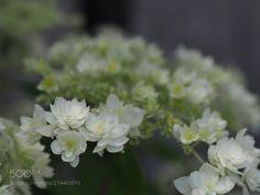 """name is Starburst"" hydrangea (Tadashi Yamaura / Okazaki / Japan) #E-M5 MarkII #macro #photo #insect #nature"