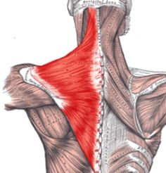 How the Trapezius Muscle Is Affected in Fibromyalgia (unfortunately, I know this muscle well :-(