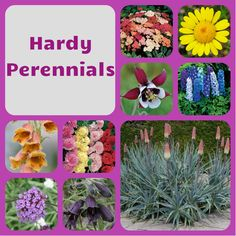 We currently have 15% off @ www.mailorderplantsdirect.co.uk Hardy Perennials, Plants, Flora, Plant