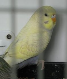 Violet Spangle Cinnamon Yellow Face fledgling budgie... she is gorgeous!