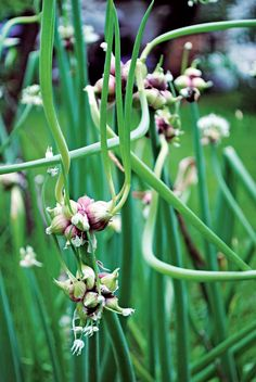 "Organic Walking Onion Plant | Gardener's Supply / I have grown these for nearly 30 years.  Because of their ""walking nature"", they wander through my gardens. When you grow these, you have a source of ""garden gifts"" for family and friends. The clustesr of bulblets make interest garnish for plates of meats or veggies."