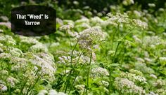 If you've ever seen yarrow (Achillea millefolium) it was probably growing wild in a field or along a roadway. It may look like a run of the mill weed, but it is one of the most useful plants you will ever find. But wherever you saw it, chances are very good the native people in …