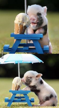 Pig + Ice cream!!
