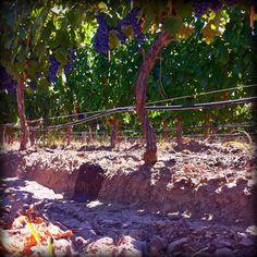 Malbec vines Mendoza, Gardening Tips, Harvest, Cheese, Wine, Wine Pairings