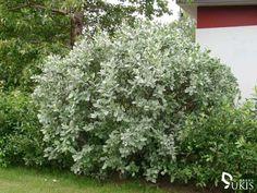 Salix lanata - mature specimen Planting Plan, Small Trees, Shrubs, Garden Ideas, Shrub, Landscaping Ideas, Backyard Ideas