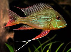 Geophagus surinamensis - Red-Striped Earth Eater | Tropical Fish | Diszhal.info