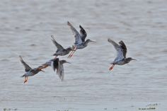 Spotted Redshank with Redshanks