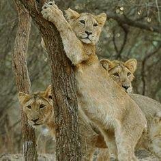 Cubs at play at Gir National Park, Sasan Gir, Gujarat, India