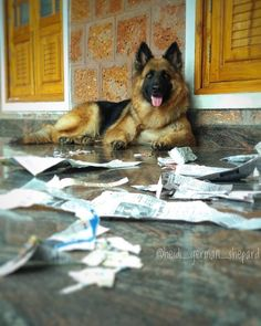 I read the newspaper, there's nothing good in it Follow Heidi👉@heidi_german_shepard #germanshepherds#germanshepherdmemes#germanshepherdphotos#germanshepherddog #gsdstagram#germanshepherdpictures#gsd#gsdphotos #gsdpictures #germanshepherdpuppy #germanshepherdpuppies German Shepherd, German Shepherds, german shepherd community German Shepherd dog, german shepherd memes, german shepherd photos, gsdstagram, german shepherd pictures, gsd, gsdphotos, gsd pictures German Shepherd Memes, German Shepherd Pictures, German Shepherd Puppies, German Shepherds, Puppy Training Tips, Heidi Heidi, Dog Cat, Poses, Cats