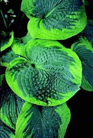 Olive Bailey Langdon It has beautiful round heavily corrugated thick bluegreen leaves with chartreuse edges The leaves have a powdered wax coating Large in size Hosta Plants, Shade Plants, Garden Plants, Shade Perennials, Foliage Plants, Fruit Garden, Outdoor Plants, Outdoor Gardens, Beautiful Gardens