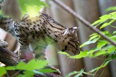 Geoffroy's cat (Leopardus geoffroyi) walking on a branch