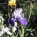 quelques iris