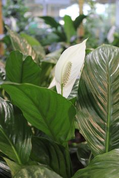 The Peace Lily (Spathiphyllum) offering elegance and beauty with a unique look. It prefers bright, indirect light but also does well in medium, indirect light.  Looking for Indoor Plants for your surroundings, send us your purchasing queries by mailing us at info@uniflora.ae or call us on 04-321-6545 for queries #Uniflora #Indoor #Plants #houseplants #Dubai #UAE