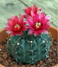 When you have identified your cactus type, you have to create the most suitable atmosphere for it. An assortment of cactus house plants appear good together. There are several different kinds of cactus combo bonsai plants. Cactus Flower, Bloom, Planting Flowers, Plants, Beautiful Flowers, Flowering Succulents, Flowers, Desert Plants, Planting Succulents