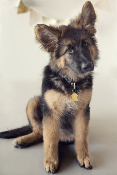 Cute German Shepherd Puppy with Head tilt posing. Nina only needs a split second of your fur babies attention for cute photos. Check out Nina's work for more pet photos and tips on how to get great expression from your pet.