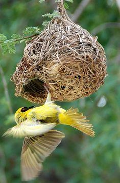 Webervogel wurde in Namibia, Halali aufgenommen