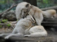 White wolf couple caring for each other. MOST POPULAR RE-PIN. RESEARCH #DdO:) - https://www.pinterest.com/DianaDeeOsborne/animals-of-a-different/ - ANIMALS OF A DIFFERENT. Tho portrayed as evil tricksters & con artists in fairy tales & folklore, wolves have a family life more loyal than many human relationships. Most packs = an alpha male, a female, & their offspring, several generations- similar to a family. Mating typically occurs January - March, one litter of pups per year. Info: MNN.