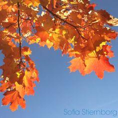 Fall mapleleaves. Underbara höstfärger!