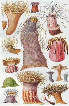 Weinlese-Seeanemonen-Ozean-Druck antike Lithographie Vintage Sea Anemone Ocean Print 1555 by VintageInclination - Sealife Illustration Botanique, Botanical Illustration, Art And Illustration, Illustrations, Ernst Haeckel, Botanical Prints, Sea Creatures, Vintage Prints, Artsy