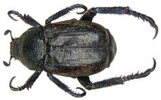 Family: Scarabaeidae Size: 8-9 mm Distribution: Western and Central Europe Location: Germany, Bavaria, Upper Franconia, Kulmbach leg.det. U.Schmidt, 15.VII.1974 Photo: U.Schmidt, 2005