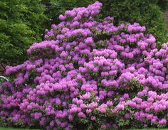 Google Image Result for http://1.bp.blogspot.com/-KRHhF105-RE/TjPVtUQI0EI/AAAAAAAAAB0/IEzhtLSOixY/s640/Rhododendron-Purple-Lrg.jpg
