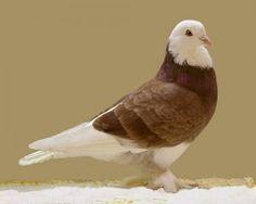 Taklacı #güvercinler... #kuşlar #birds