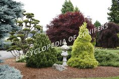 Landscape Design and Conifers. A beautiful combination.
