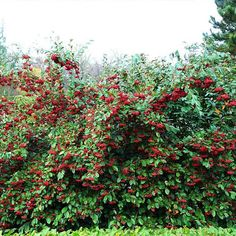 Plus de 1000 id es propos de les arbustes du jardin sur pinterest rouge acer palmatum et - Arbuste a boule rouge ...
