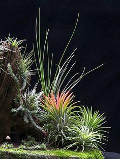 ~~Tillandsia bonsai by Sim Eng Hiang~~