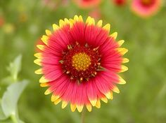 Indian Blanket---Oklahoma wildflower---as a tattoo, might be neat!