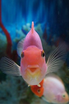 Parrot Cichlid. Happy fish . Is it weird I find these adorable ?
