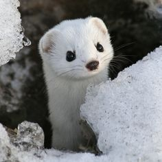 White stoat also known as short-tail weasel or ermine