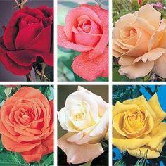 Sub Zero Rose Collection