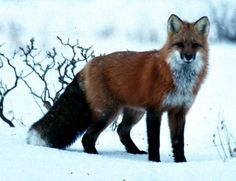 Photo of Cute Fox for fans of Animal Rights.