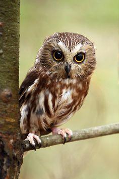 northern saw-whet owl  (photo by megan lorenz)