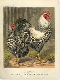 Ilustración, gallo, gallina, vintage